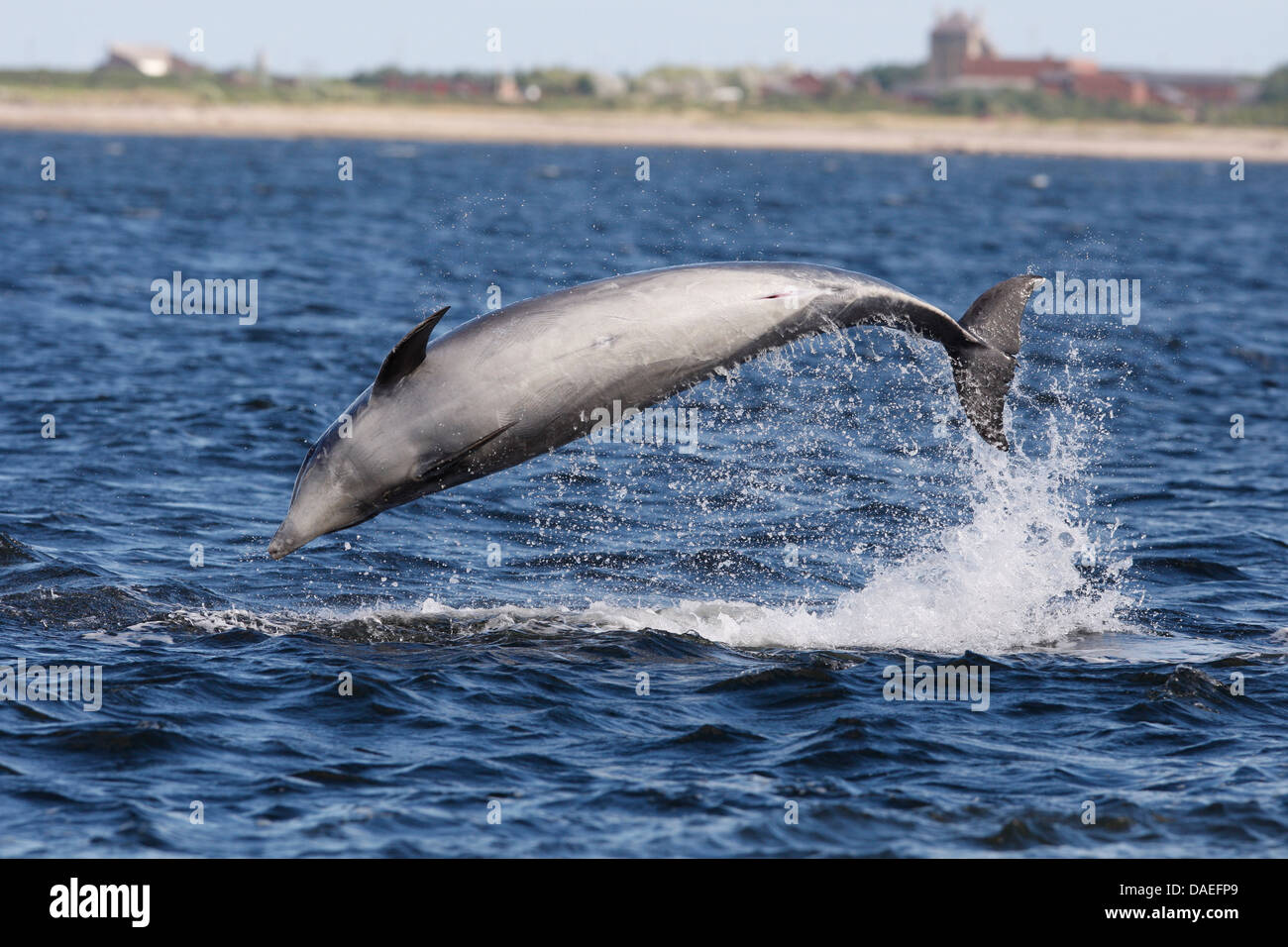 Bottlenose dolphins playing in the Moray Firth. Highland. Scotland. - Stock Image