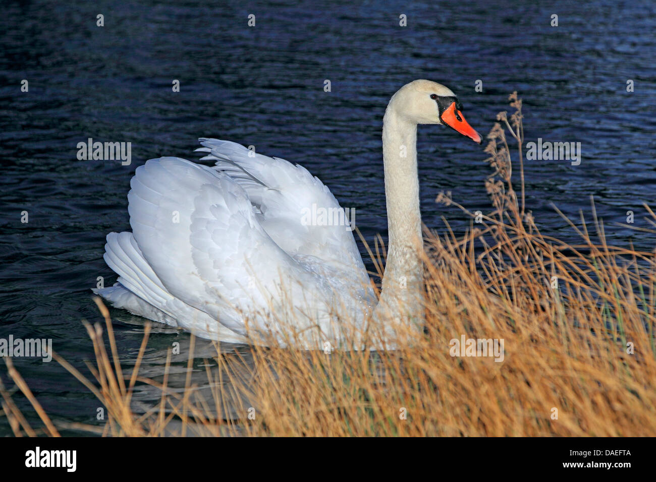 mute swan (Cygnus olor), at Rhine shore, Germany Stock Photo