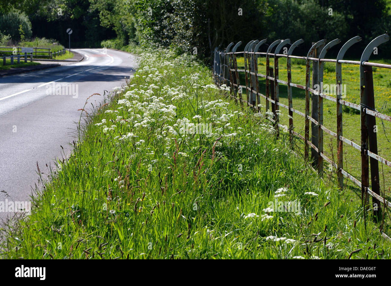 Roadside verge in spring with hedge parsley (Ladies' Lace), Alcester Road, Bromsgrove - Stock Image