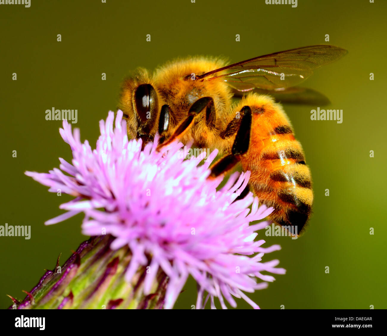 Honey Bee collecting pollen from a flower. - Stock Image