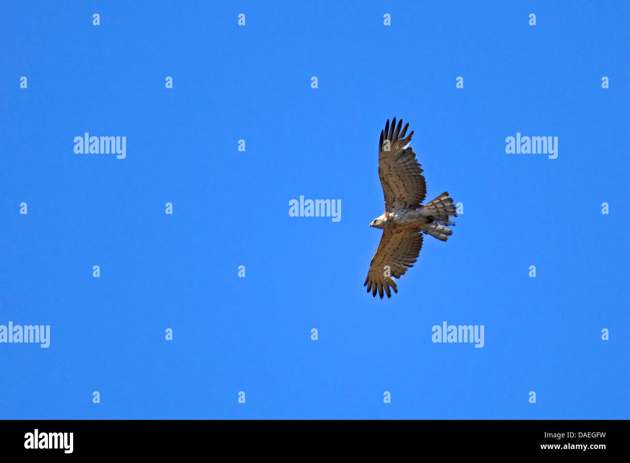 short-toed eagle (Circaetus gallicus), soaring, Greece, Lesbos - Stock Image
