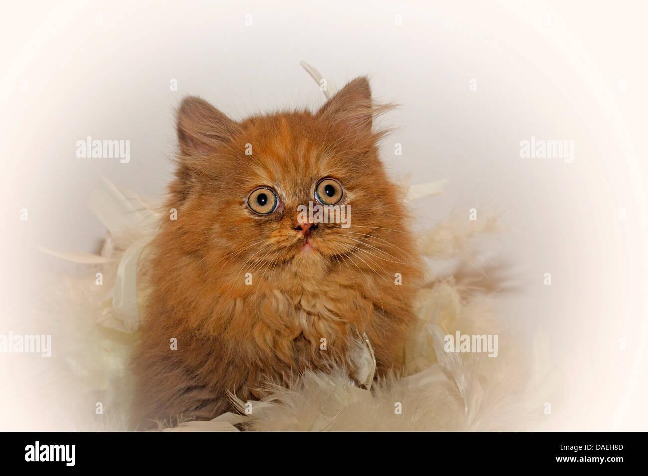 British Longhair, Highlander, Lowlander (Felis silvestris f. catus), portrait of a nine weeks old kitten in chocolate Stock Photo