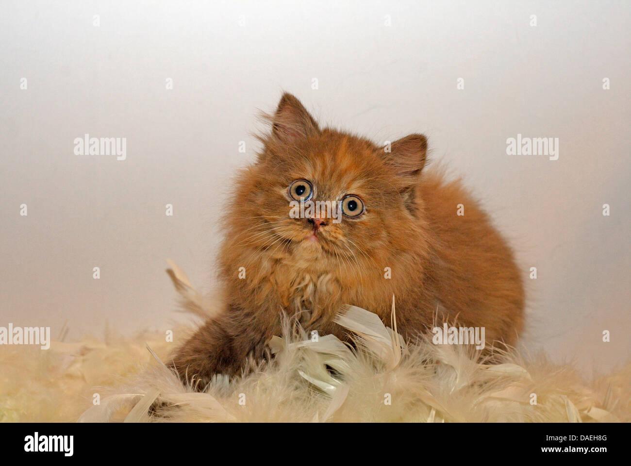British Longhair, Highlander, Lowlander (Felis silvestris f. catus), a nine weeks old kitten in chocolate tortie Stock Photo