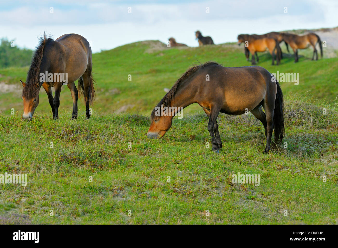 Exmoor pony (Equus przewalskii f. caballus), grazing herd of horses in the conservation area Bollekamer, Netherlands, - Stock Image