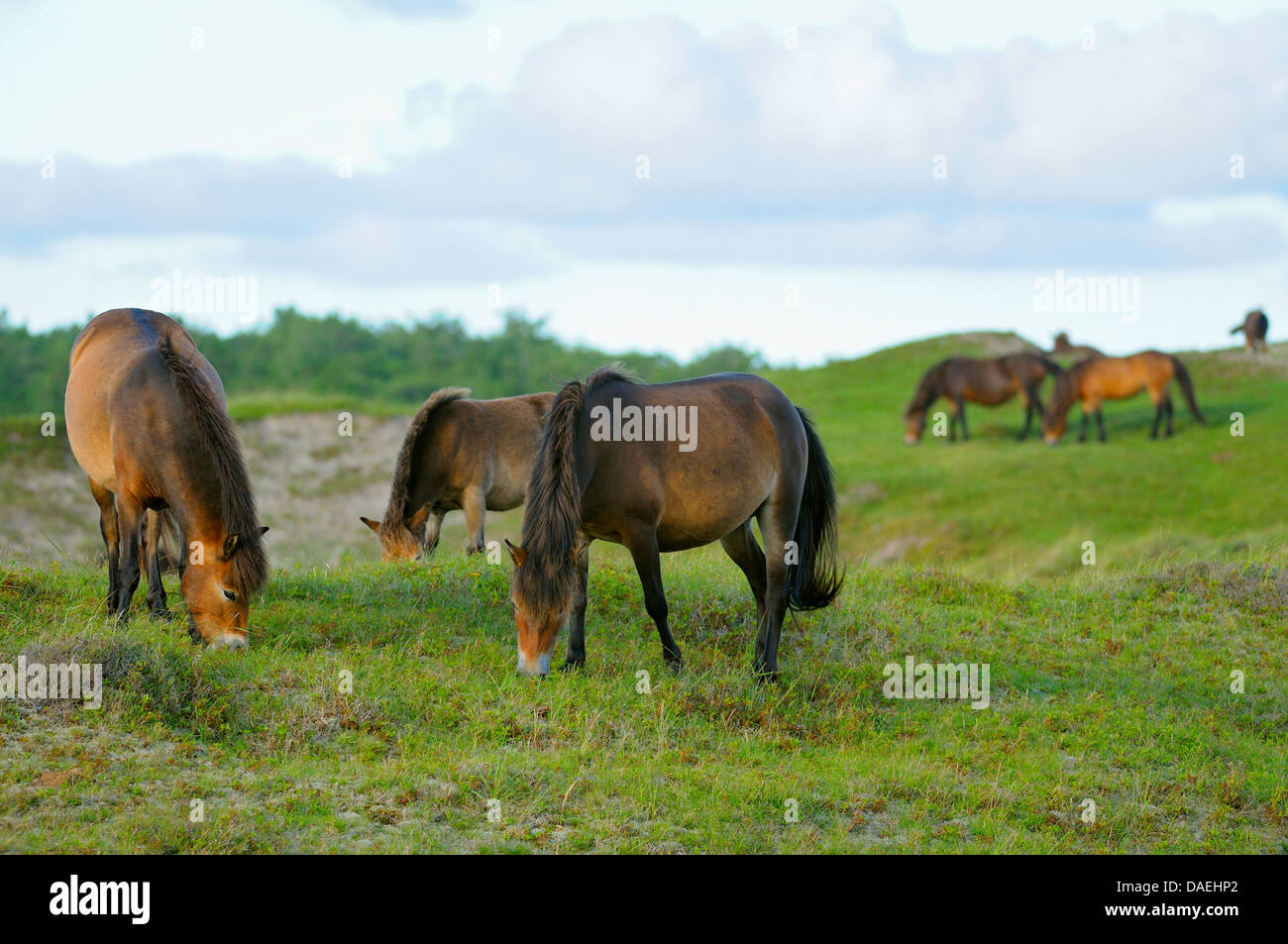 Exmoor pony (Equus przewalskii f. caballus), herd of horses grazing in the conservation area Bollekamer, Netherlands, - Stock Image