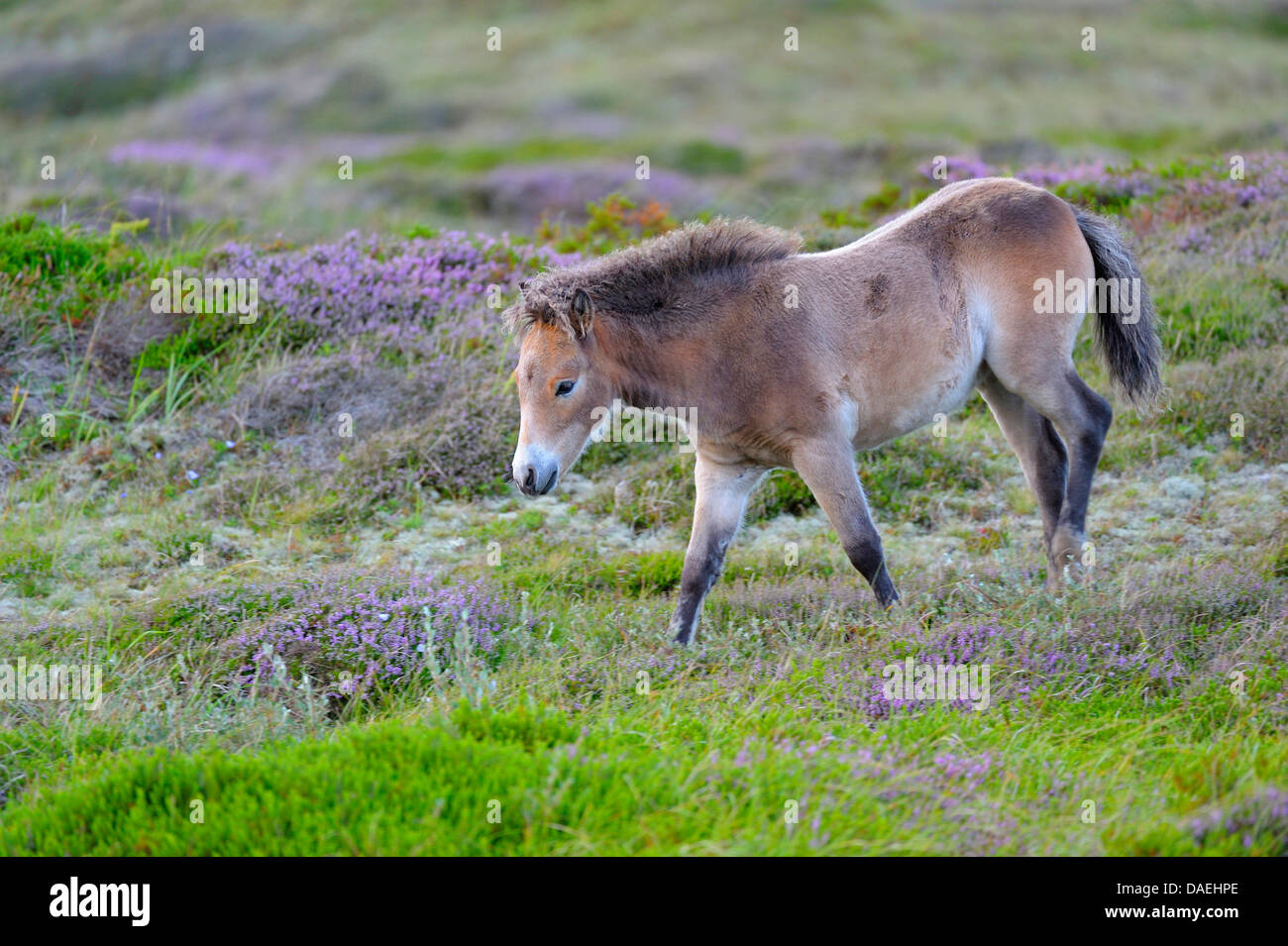 Exmoor pony (Equus przewalskii f. caballus), foal in the conservation area at blooming heath, Netherlands, Texel, - Stock Image