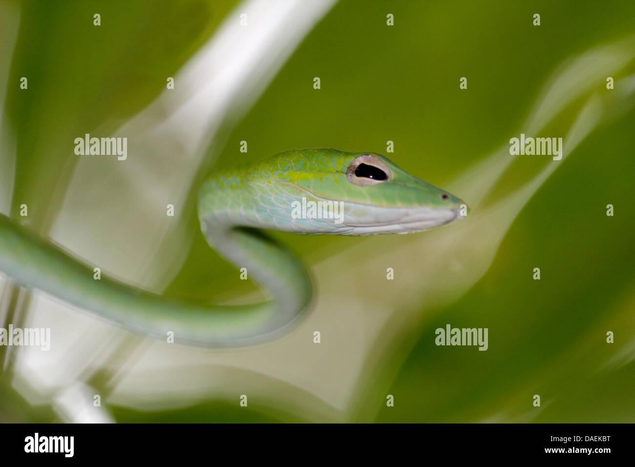long-nosed tree snake, long-nosed whipsnake, Oriental whipsnake (Ahaetulla prasina), the snake crowls through a tree, Thailand, Khao Lak National Park Stock Photo