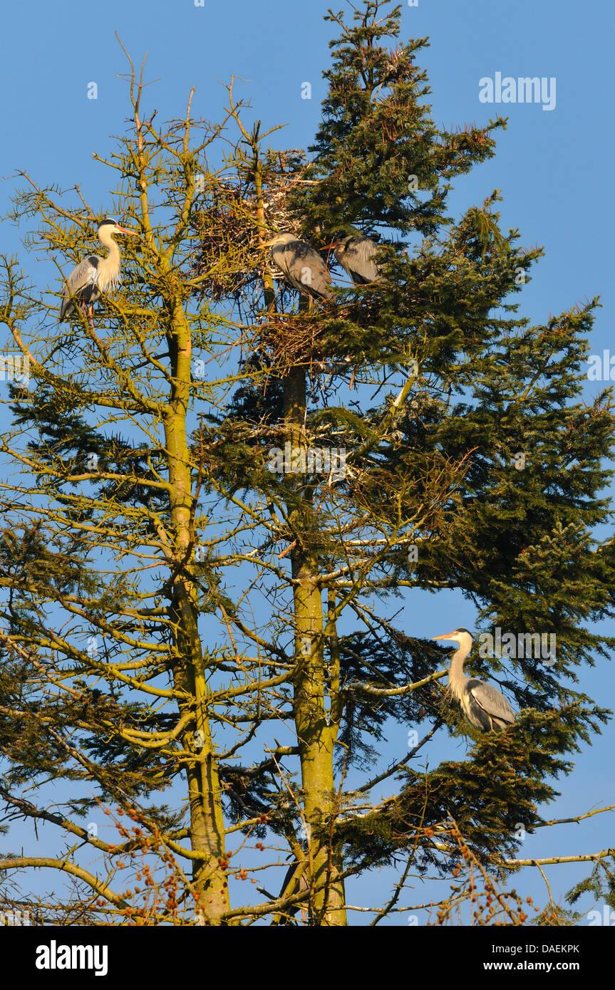 grey heron (Ardea cinerea), colony in a tree, Germany Stock Photo