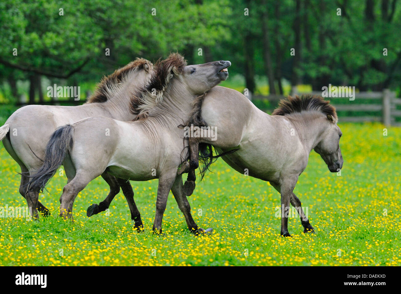 Tarpan (Equus ferus gmelini, Equus gmelini), back breeding attempt of the extinct wild horse subspecies by crossing Stock Photo