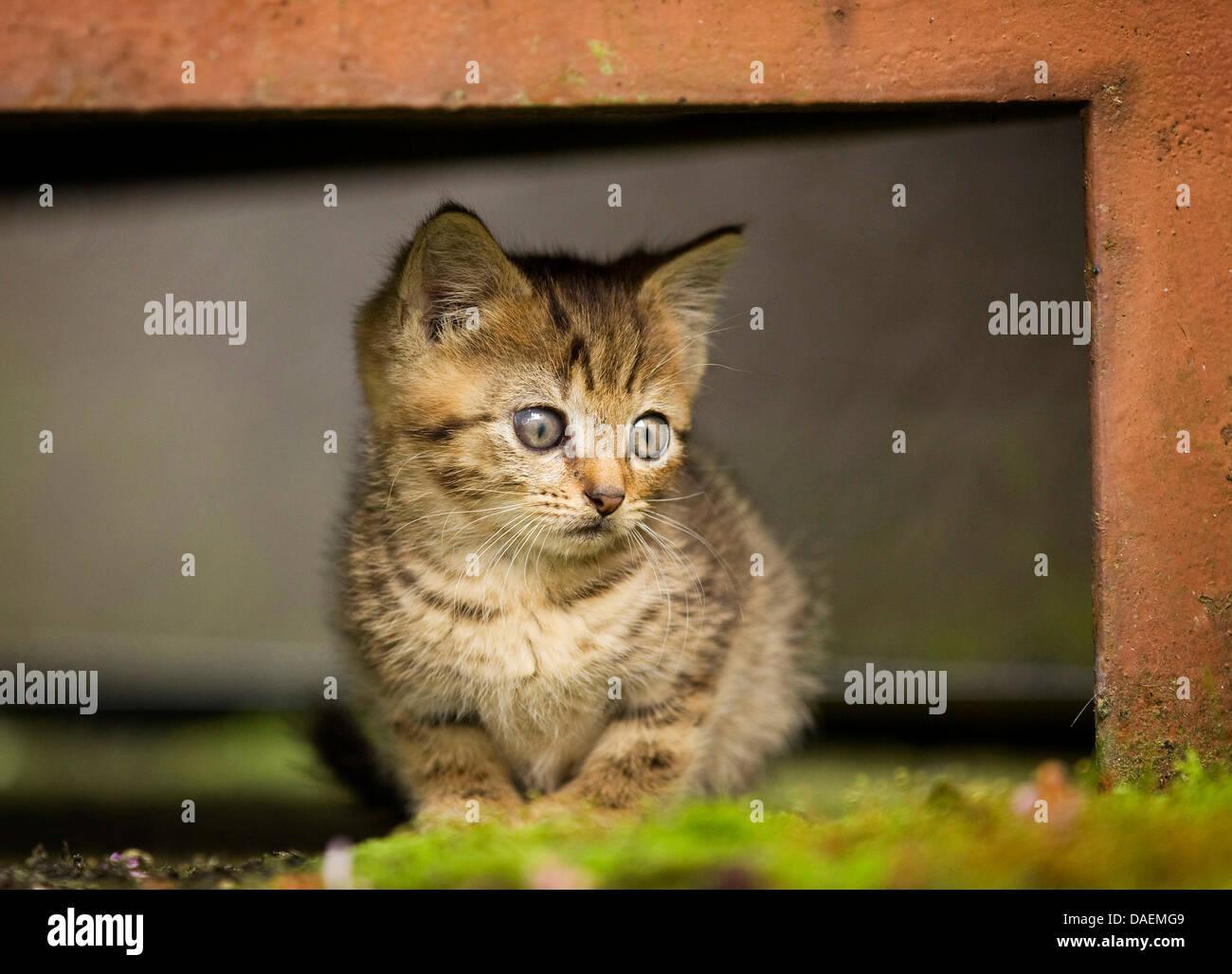 domestic cat, house cat (Felis silvestris f. catus), kitten sitting ...