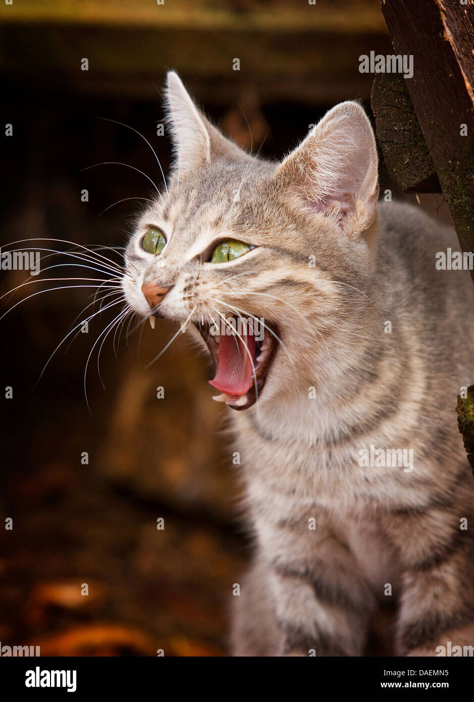 domestic cat, house cat (Felis silvestris f. catus), snarling disgusted, Germany - Stock Image