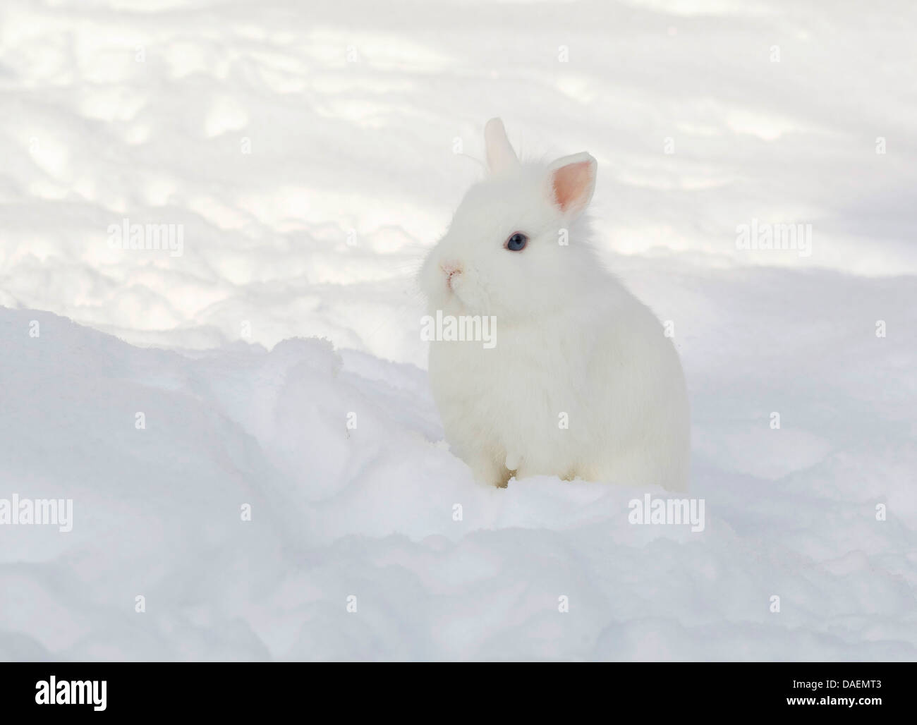 dwarf rabbit (Oryctolagus cuniculus f. domestica), white rabbit sitting in the snow, Germany - Stock Image