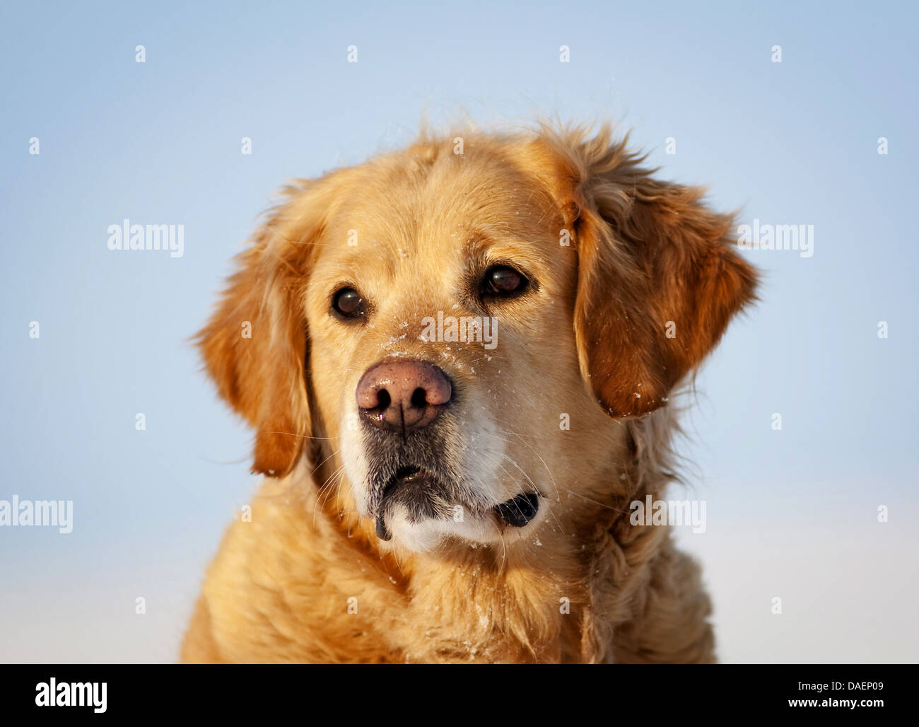 Golden Retriever (Canis lupus f. familiaris), portrait in the snow, Germany - Stock Image