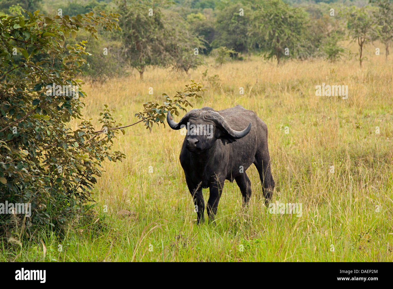 African buffalo (Syncerus caffer), standing on high grass in the rainy season , Rwanda, Eastern Province , Akagera Stock Photo