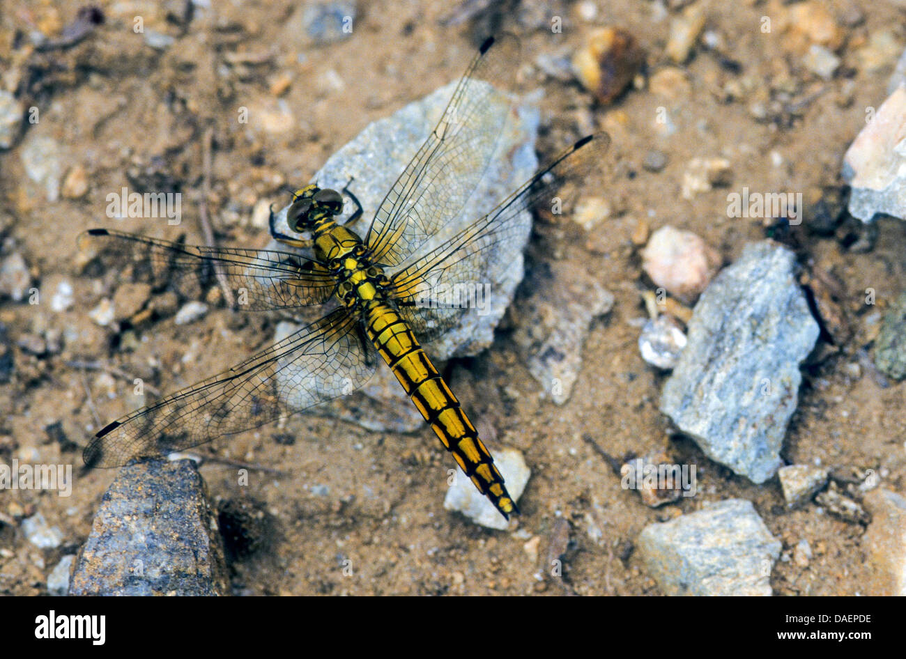 black-tailed skimmer (Orthetrum cancellatum), female on the fround, Germany - Stock Image