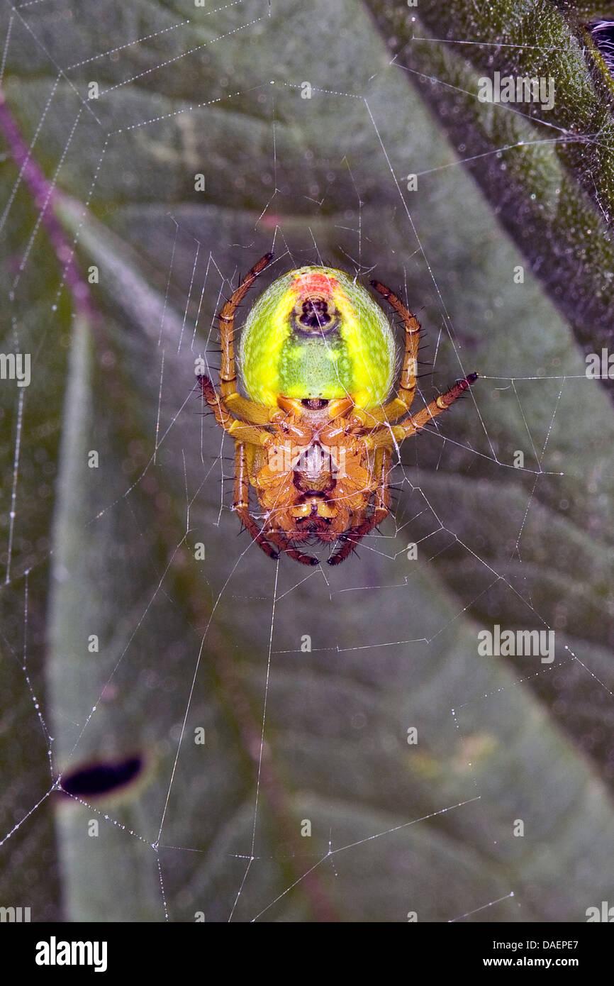 gourd spider, pumpkin spider (Araniella cucurbitina oder Araniella opistographa), in its web, Germany - Stock Image