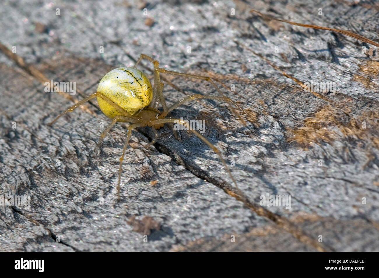 gourd spider, pumpkin spider (Araniella cucurbitina oder Araniella opistographa), sitting on bark, Germany - Stock Image