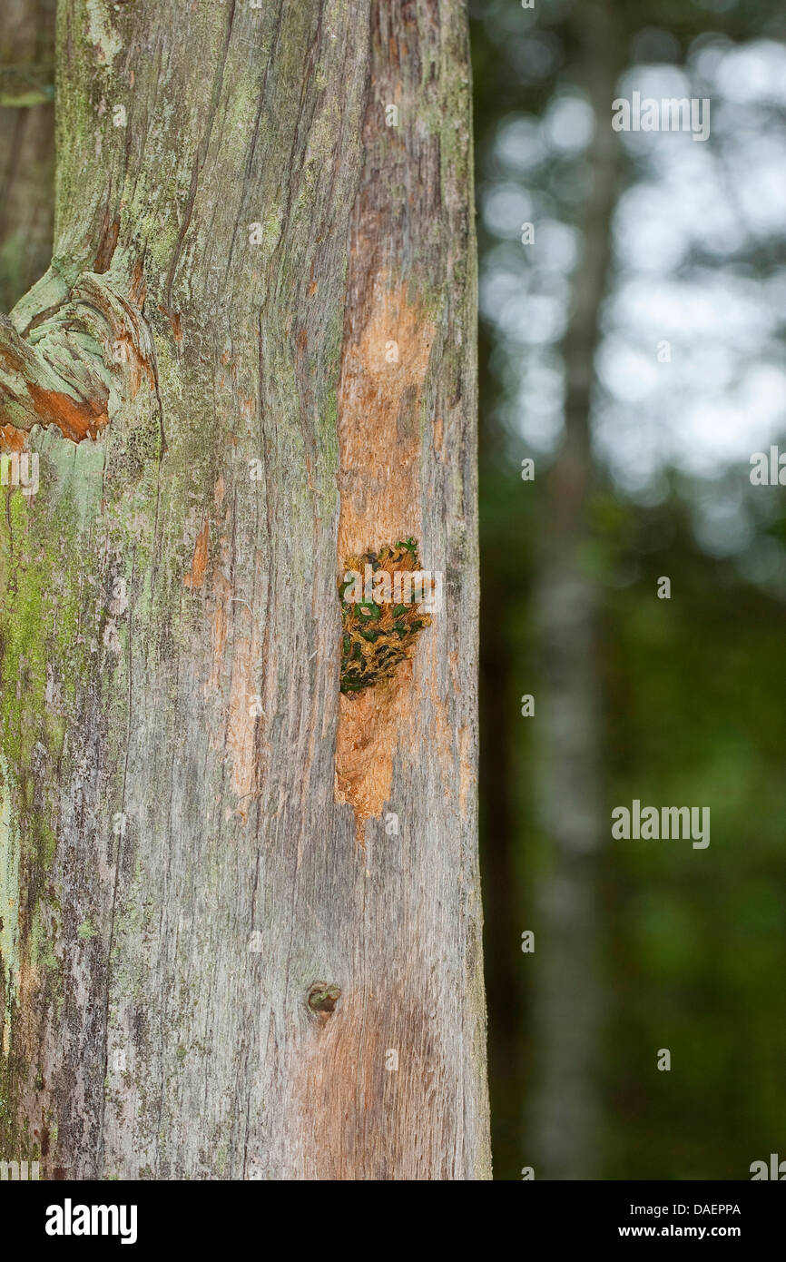 seed-cracking sites of a woodpecker at a tree trunk, Germany - Stock Image