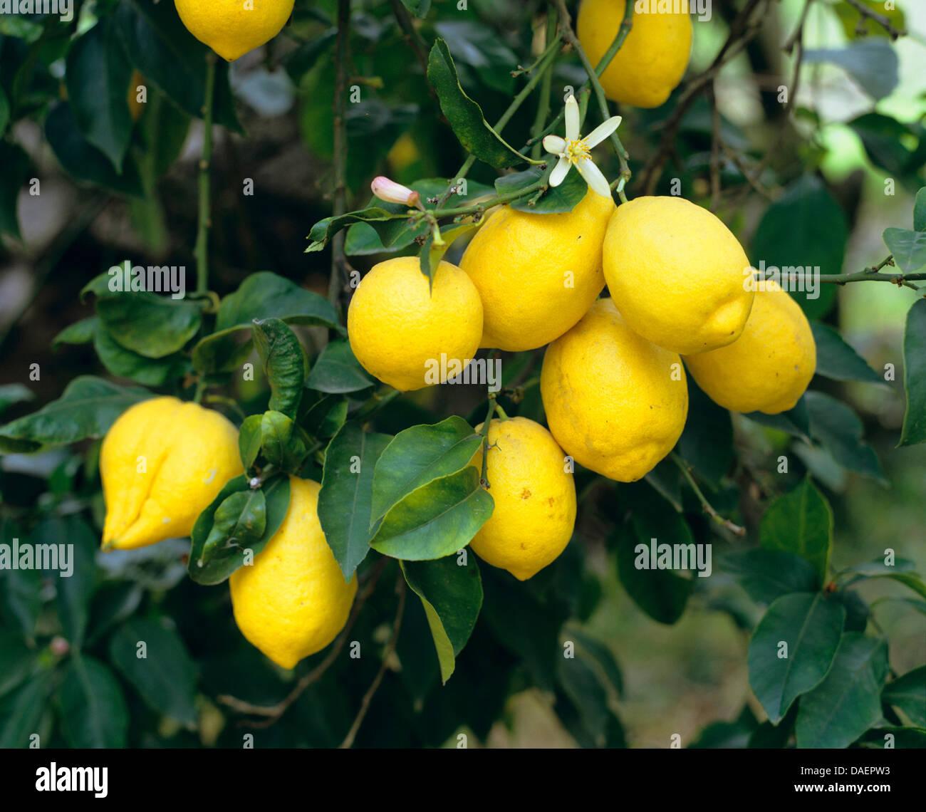 lemon citrus limon lemontree with flowers and ripe lemons greece stock photo 58102943 alamy. Black Bedroom Furniture Sets. Home Design Ideas