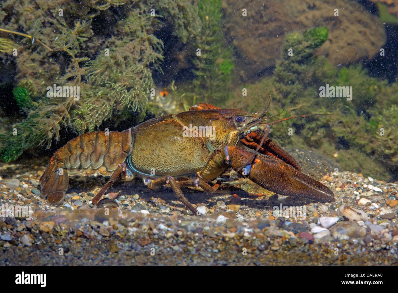 noble crayfish (Astacus astacus), male, Germany - Stock Image