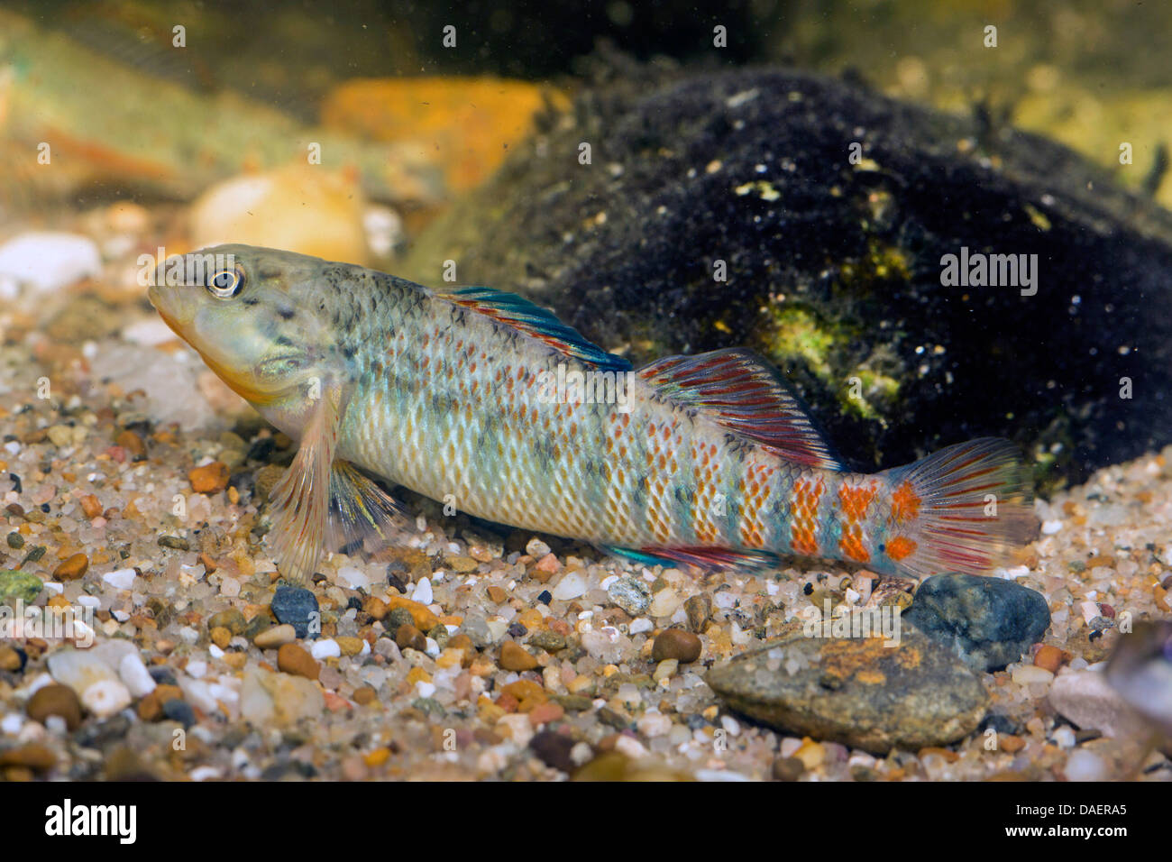Rainbow Darter (Etheostoma caeruleum), 7 cm long male at the gravel ground of a water - Stock Image