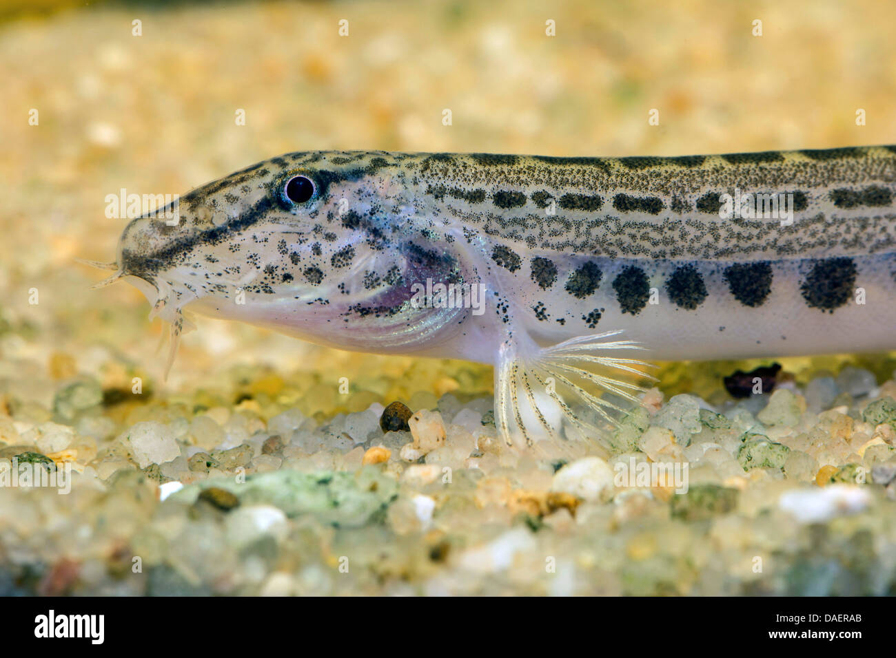 spined loach, spotted weatherfish (Cobitis taenia), portrait at a gravel ground - Stock Image