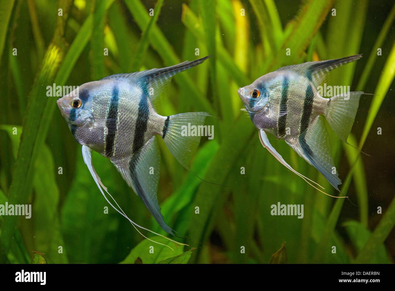 freshwater angelfish, longfin angel fish, black angelfish, scalare Stock Photo: 58103353 - Alamy