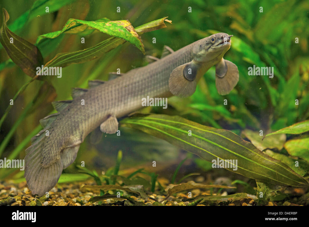 Senegal Bichir Polypterus Senegalus High Resolution Stock Photography And Images Alamy