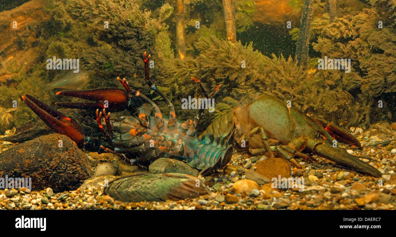 noble crayfish (Astacus astacus), after skinning, Germany - Stock Image