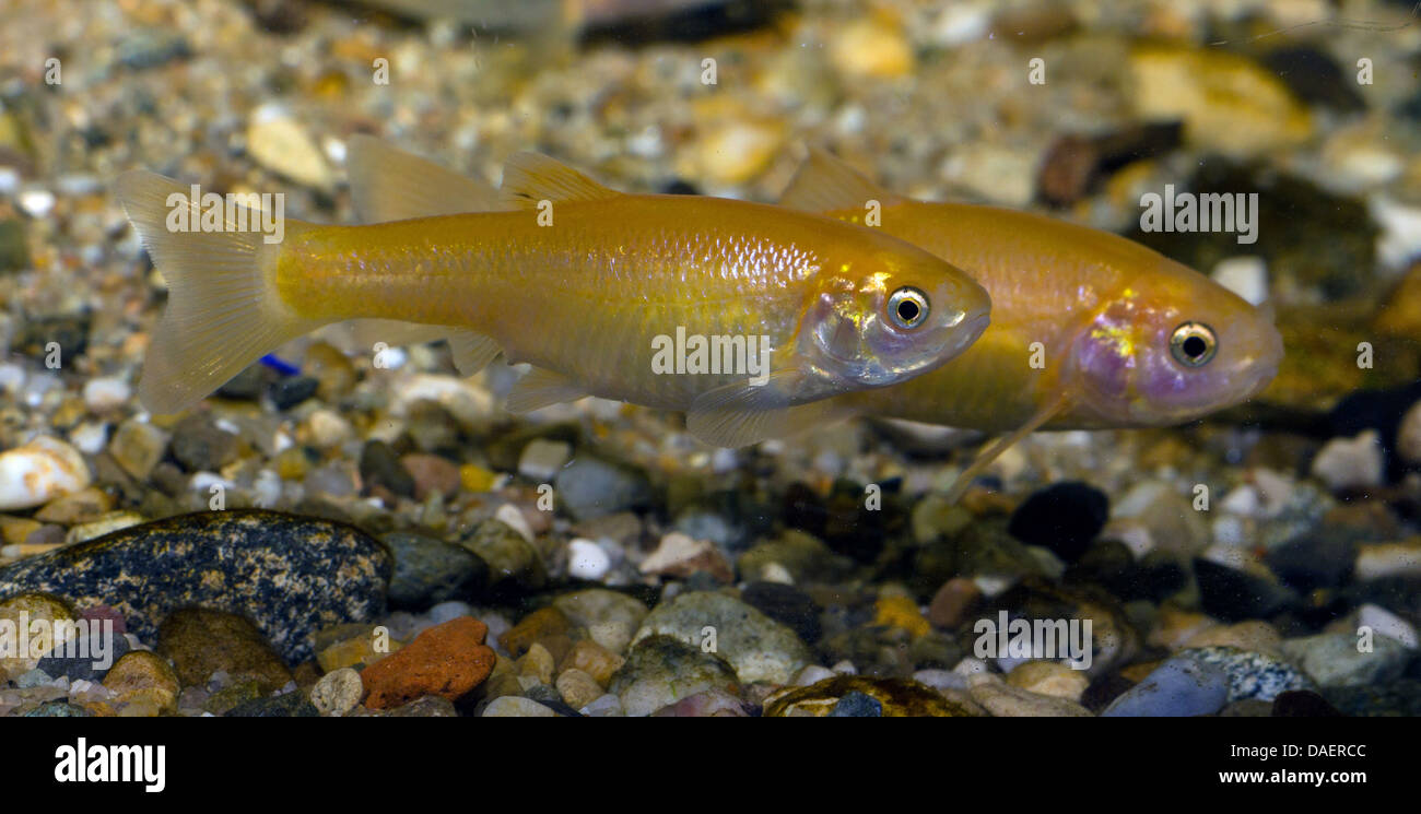 Minnows Stock Photos & Minnows Stock Images - Page 3 - Alamy