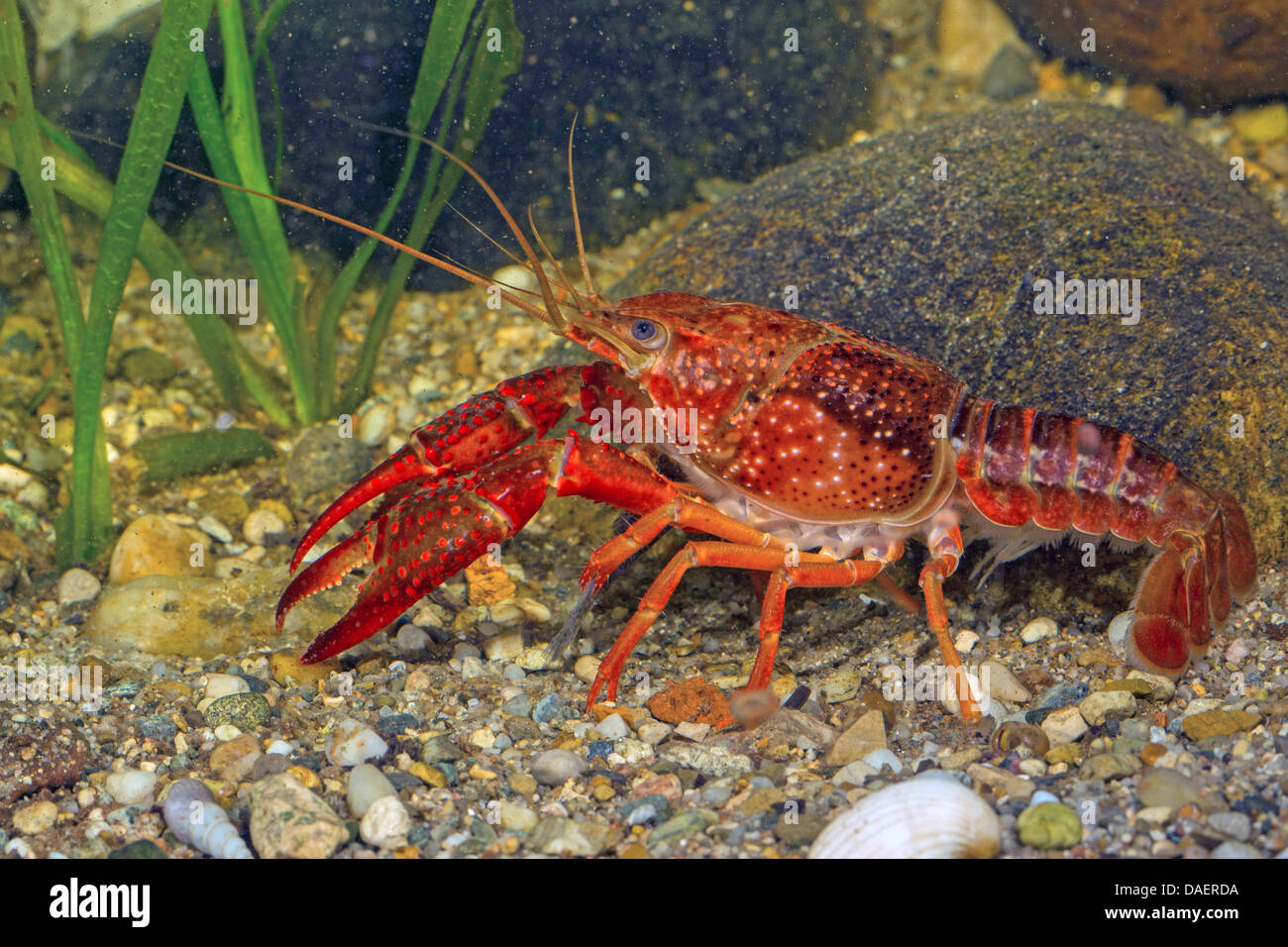 behaviors of the red swamp crayfish procambarus clarkii Red swamp crayfish ( procambarus clarkii , girard 1852) and common carp ( cyprinus carpio , l 1758)  hydrolysis characteristics negligible hydrolysis at 25°c at ph 5 negligible hydrolysis at 25°c at ph 7 half-life = 25 days at 25°c at ph 9 photolysis characteristics deltamethrin is directly phototransformed, dt 50 = 48 days, and indirectly photo-transformed, dt 50 = 4 days.