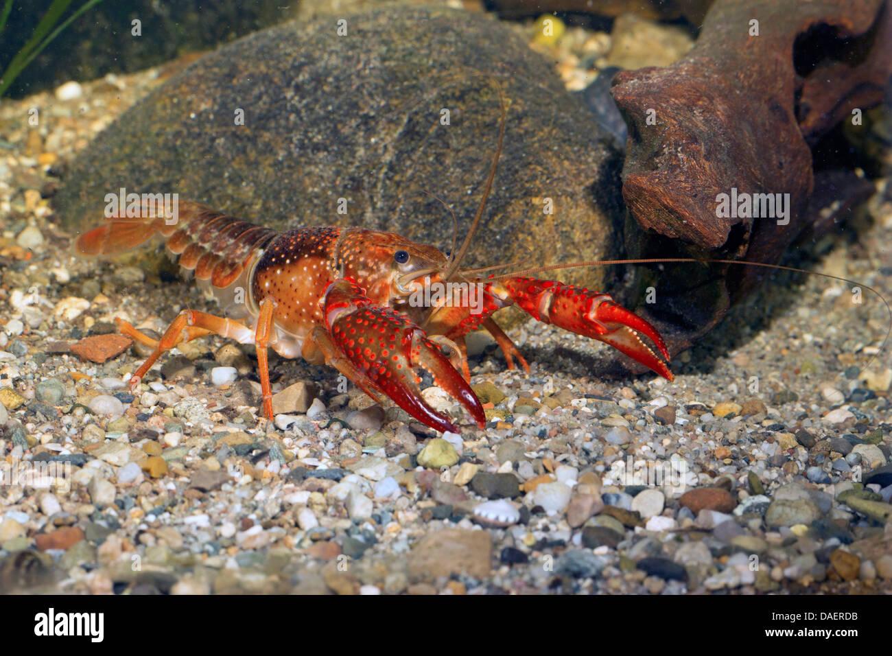 Louisiana red crayfish, red swamp crayfish, Louisiana swamp crayfish, red crayfish (Procambarus clarkii), male, - Stock Image