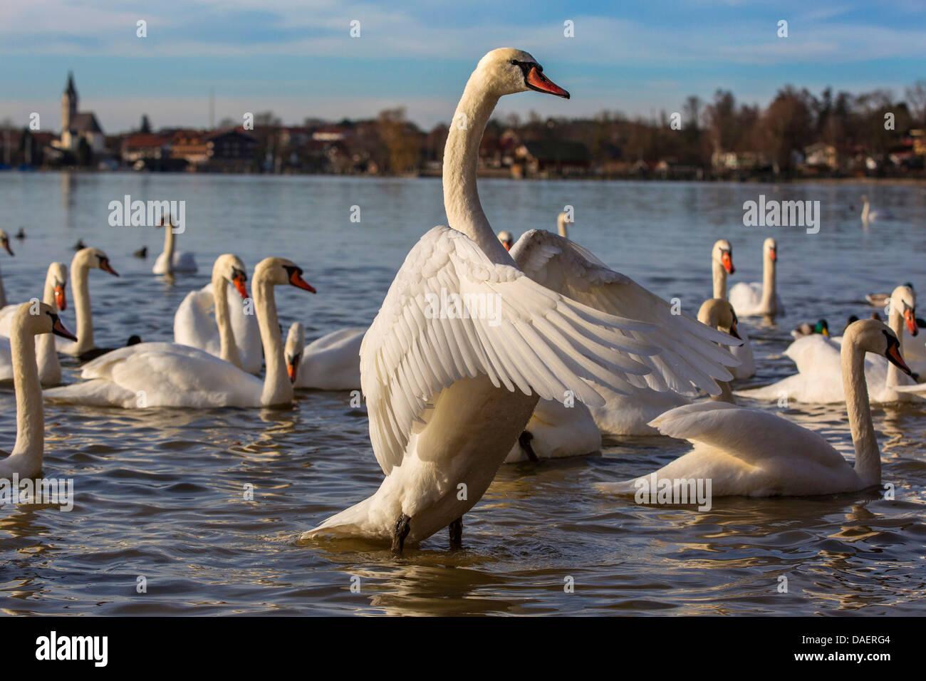mute swan (Cygnus olor), flapping wings, Germany, Bavaria, Lake Chiemsee, Seebruck - Stock Image