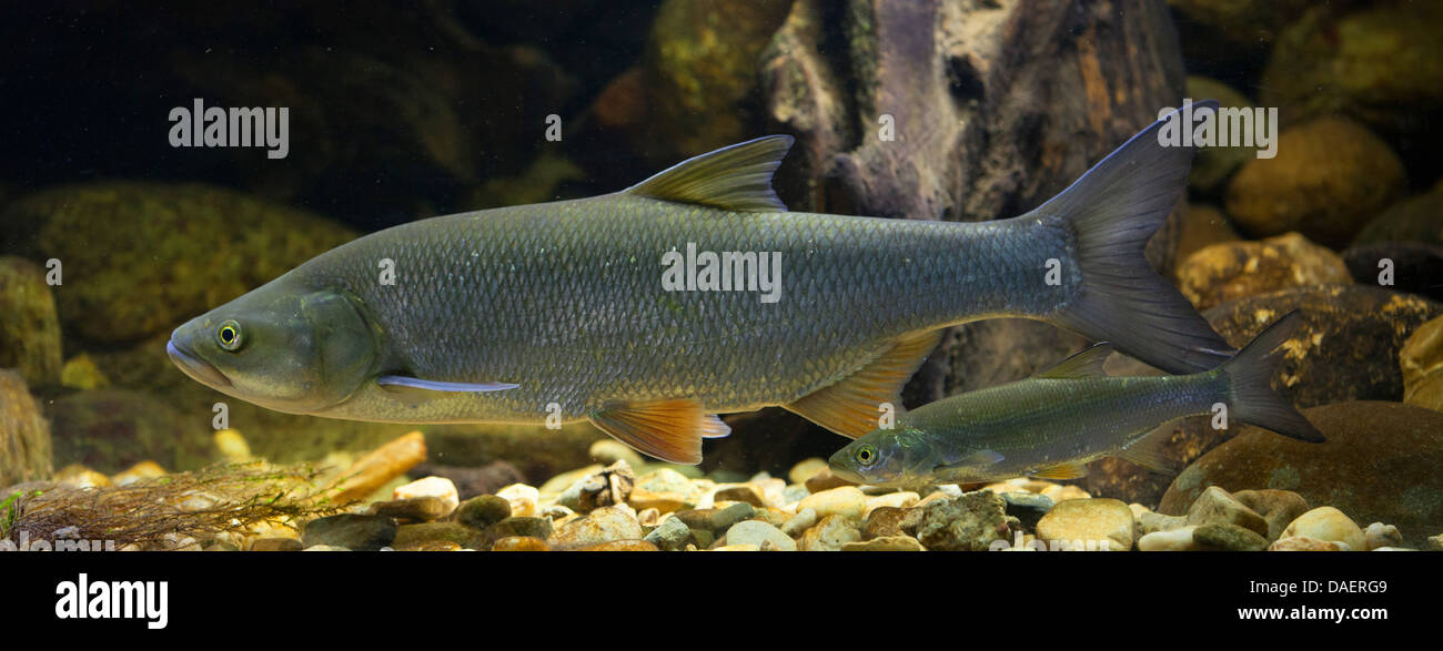 asp (Aspius aspius), 55 cm and juvenile 20 cm long exemplar at the pebble ground of a water - Stock Image