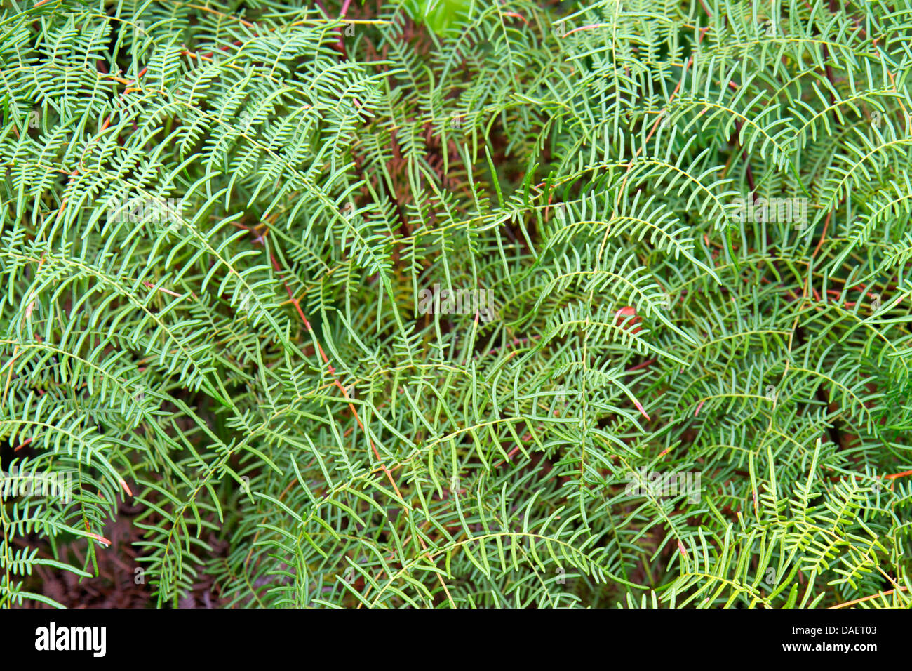 Miami Florida City Everglades Florida National Park Main Park Road Pteridium aquilinum caudatum lacy bracken fern - Stock Image