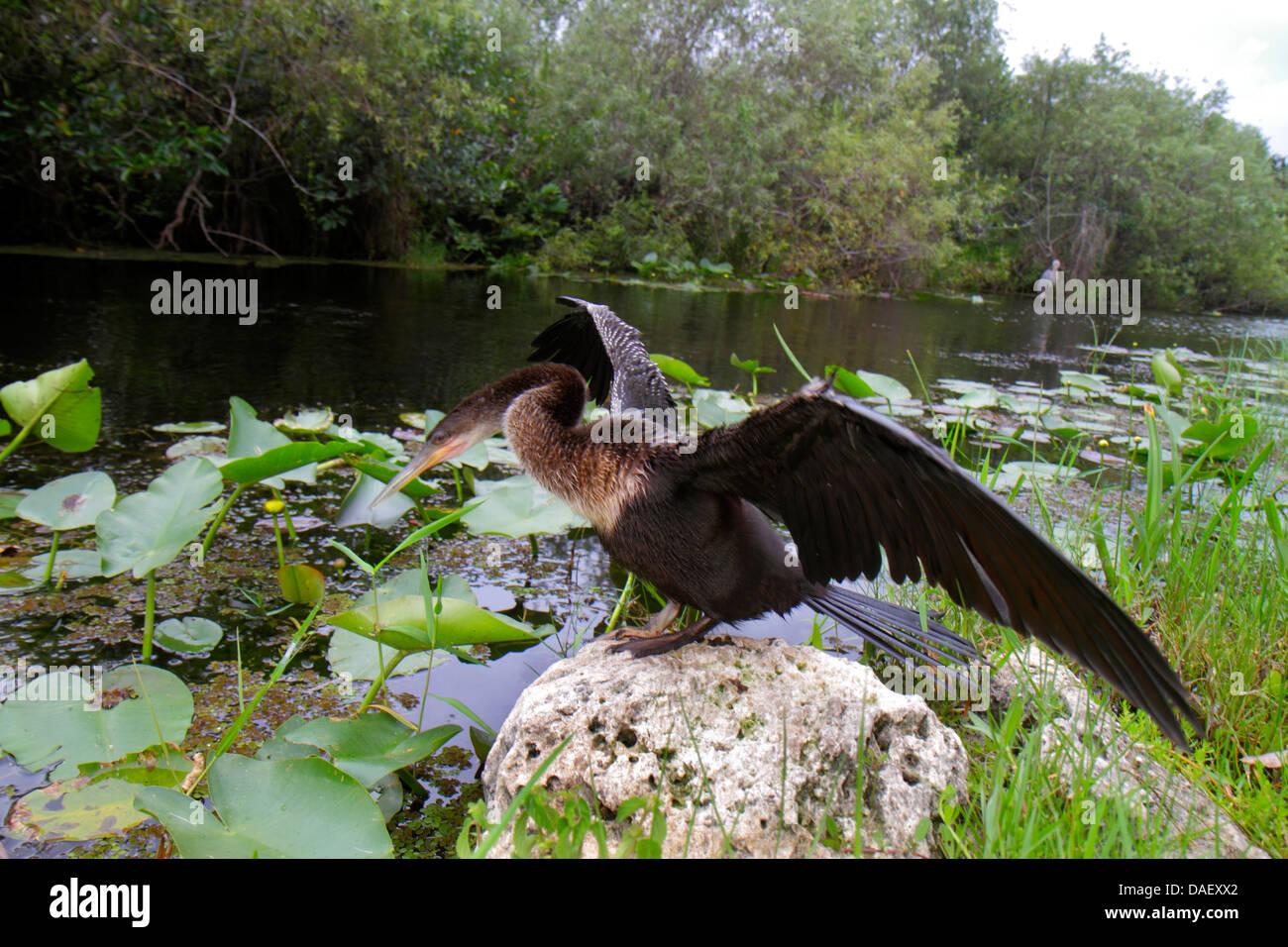 Miami Everglades Florida National Park Shark Valley Visitors Center centre Bike Tram Trail anhinga bird drying wings - Stock Image