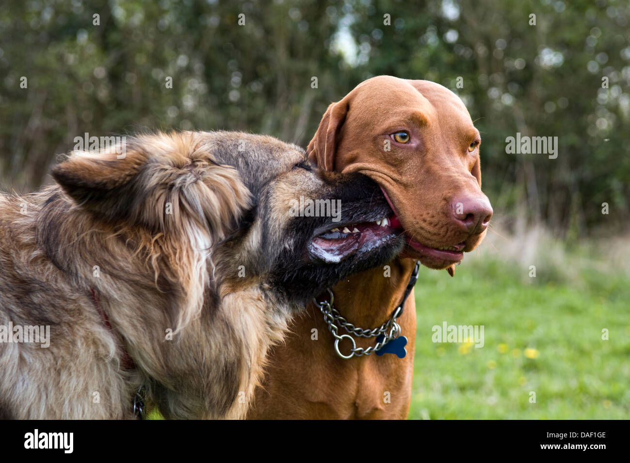 Amusing dog picture with nose stuck in another dogs mouth trying to take toy away. German Shepherd dog and a Hungarian - Stock Image