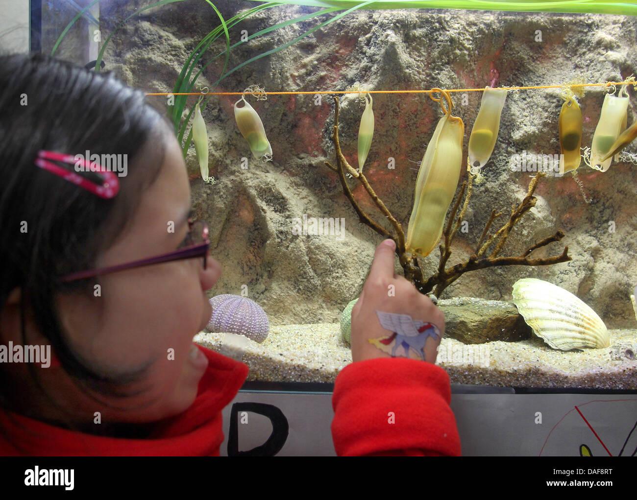 Hai-Eier der klein- und großgefleckten Katzenhaie schaut sich am Donnerstag (10.02.2011) eine junge Schülerin der Stock Photo