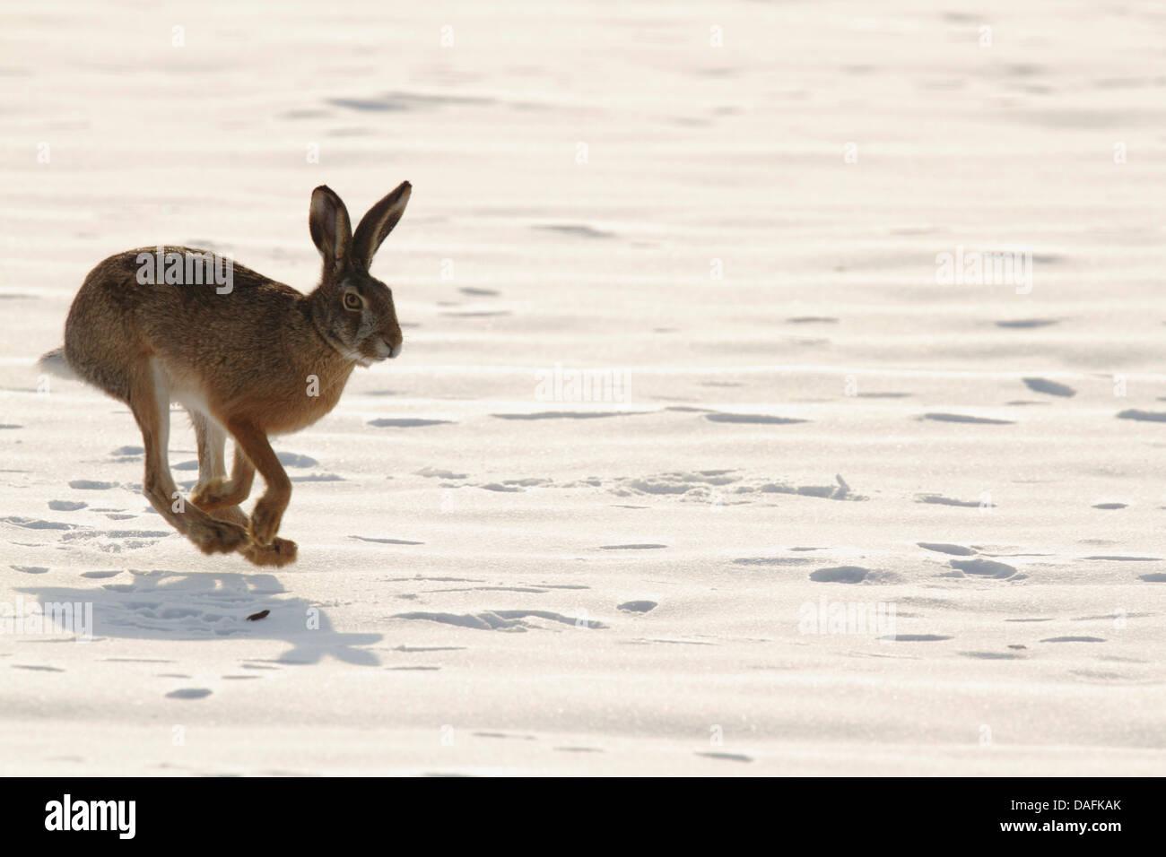 European hare, Brown hare (Lepus europaeus), scampering in the snow, Austria, Burgenland - Stock Image