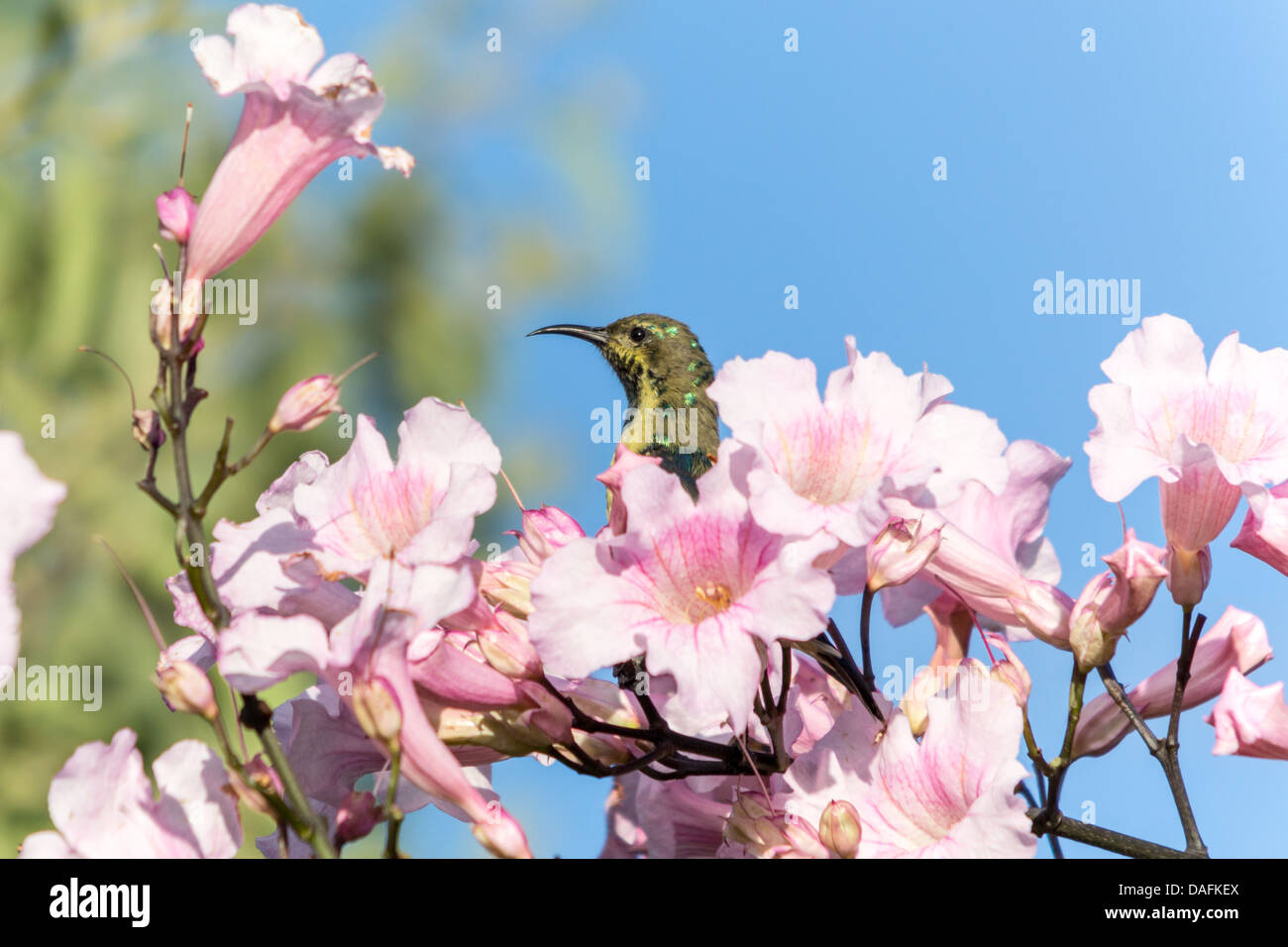 A beautiful small bird sitting on a twig filled with blooming flowers - Stock Image