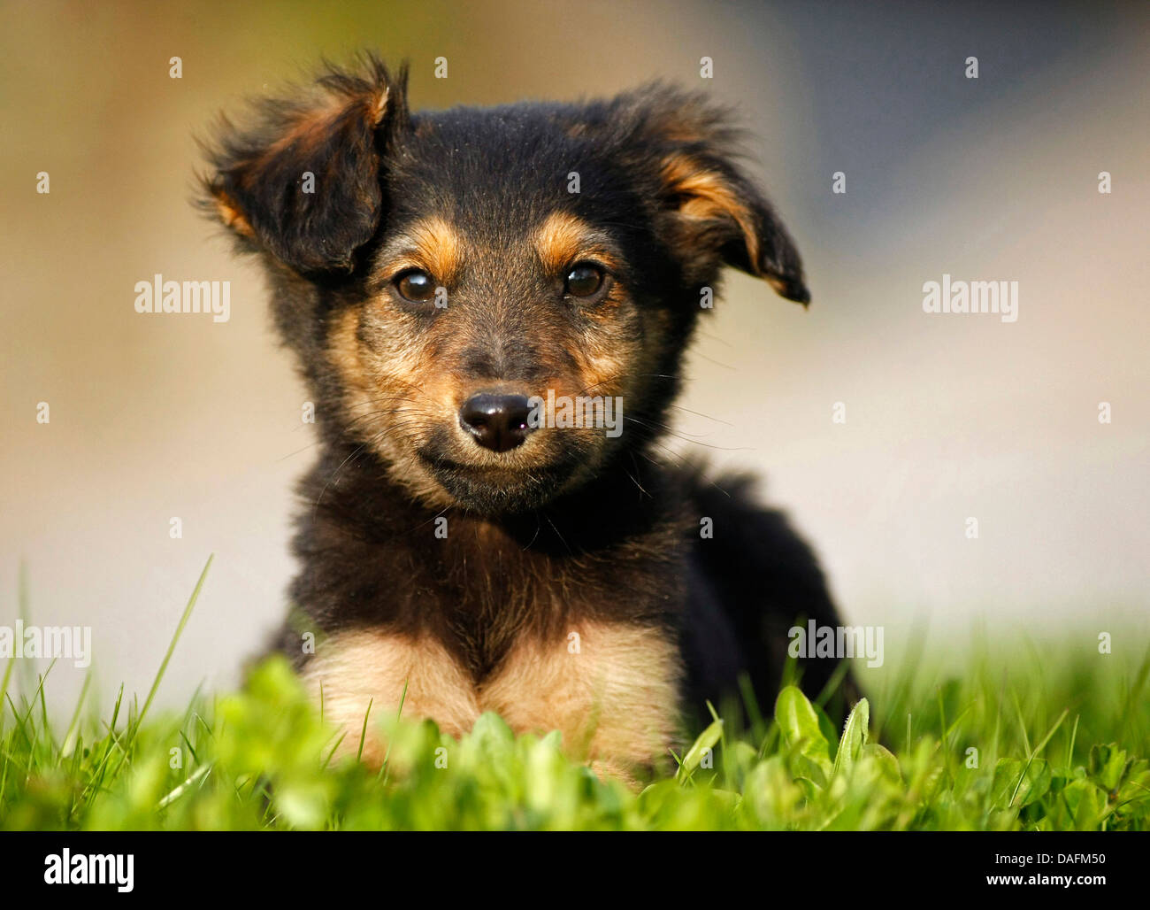 mixed breed dog (Canis lupus f. familiaris), whelpe lying in a meadow, mix breed dog of Old German Sheepdog and - Stock Image