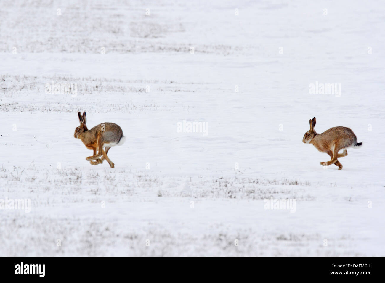 European hare, Brown hare (Lepus europaeus), mating season in winter, Austria, Burgenland - Stock Image