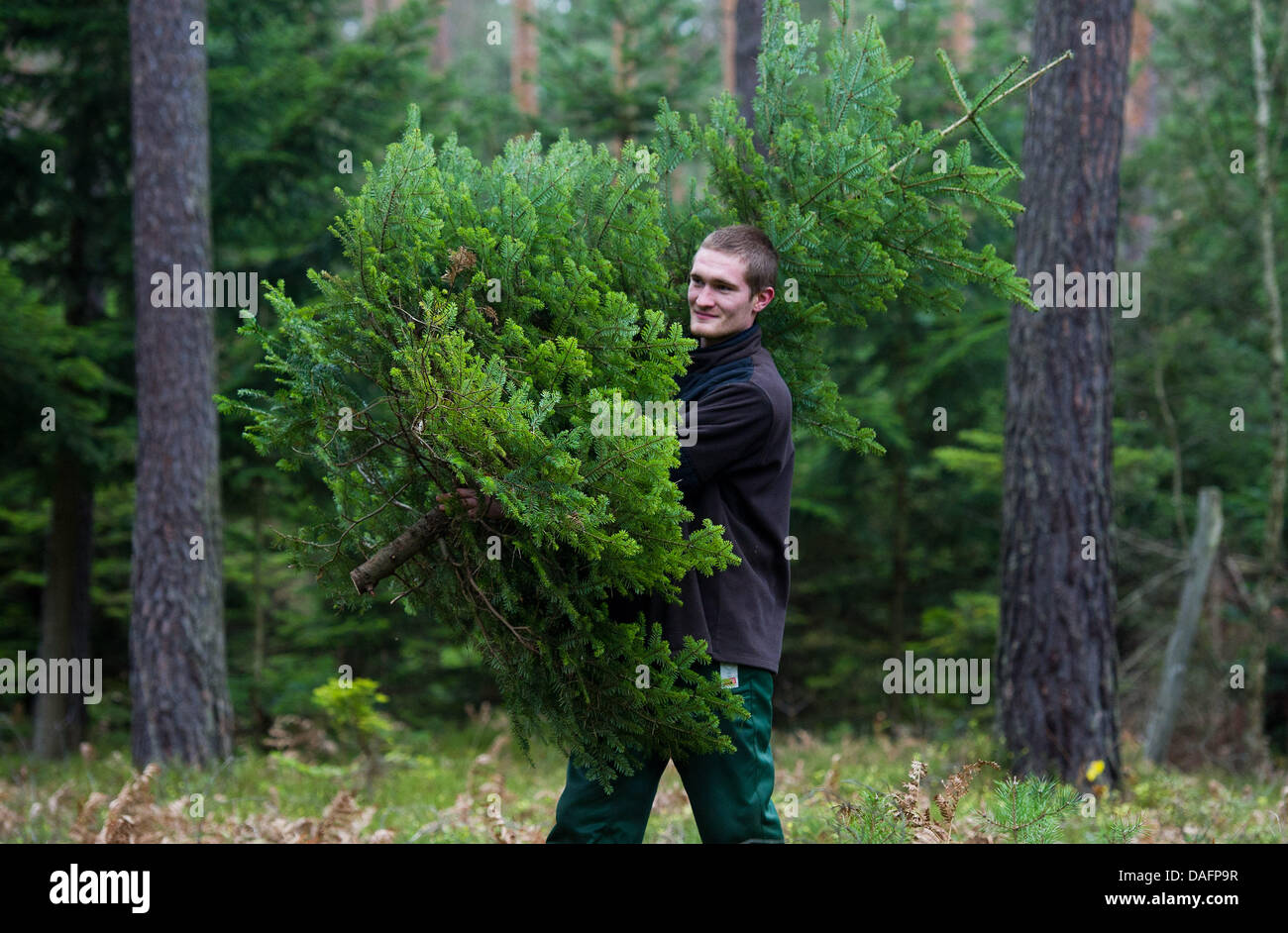 Frederic Neumann, who is completing a voluntary ecological year at the foundation August Bier, carries a Nikko fir - Stock Image