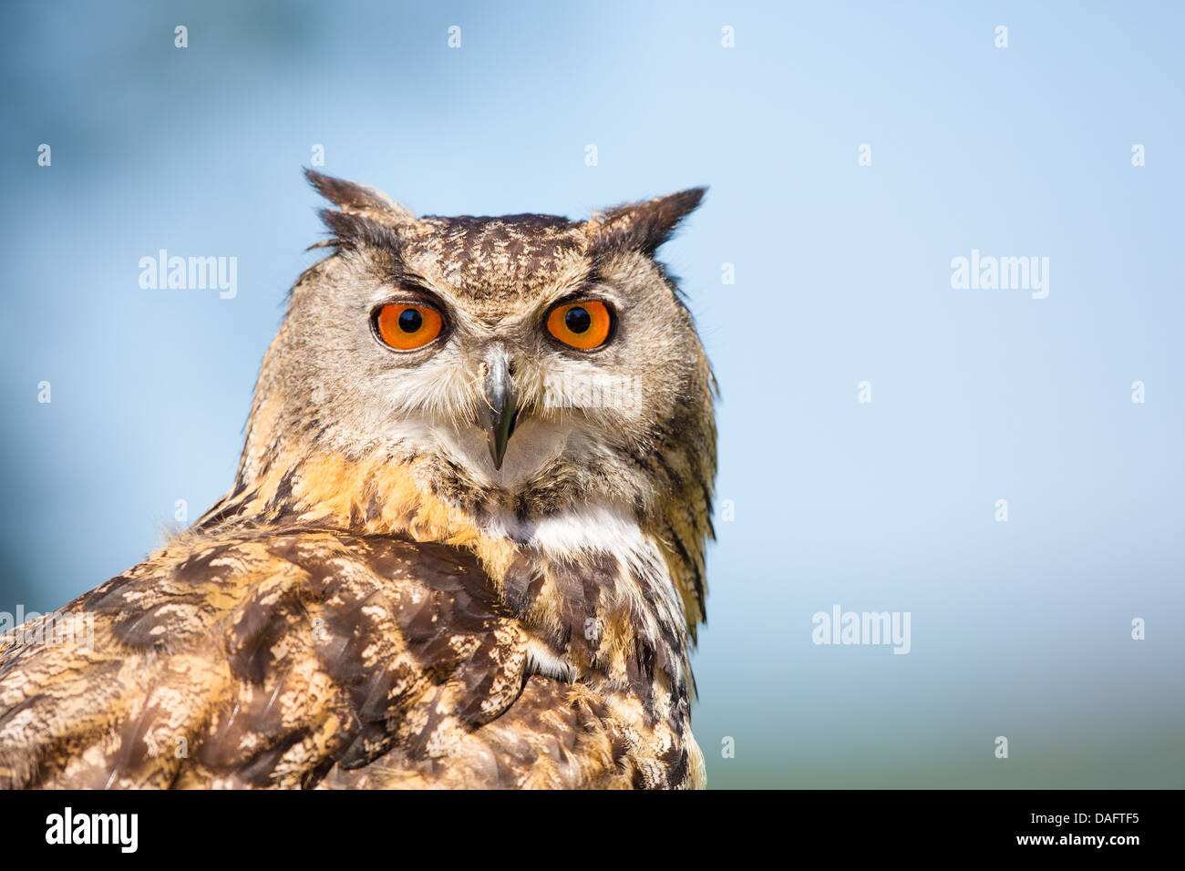 Close-up of a Eurasian Eagle- owl (Bubo bubo) showing head against a blue sky and cloud background - Stock Image