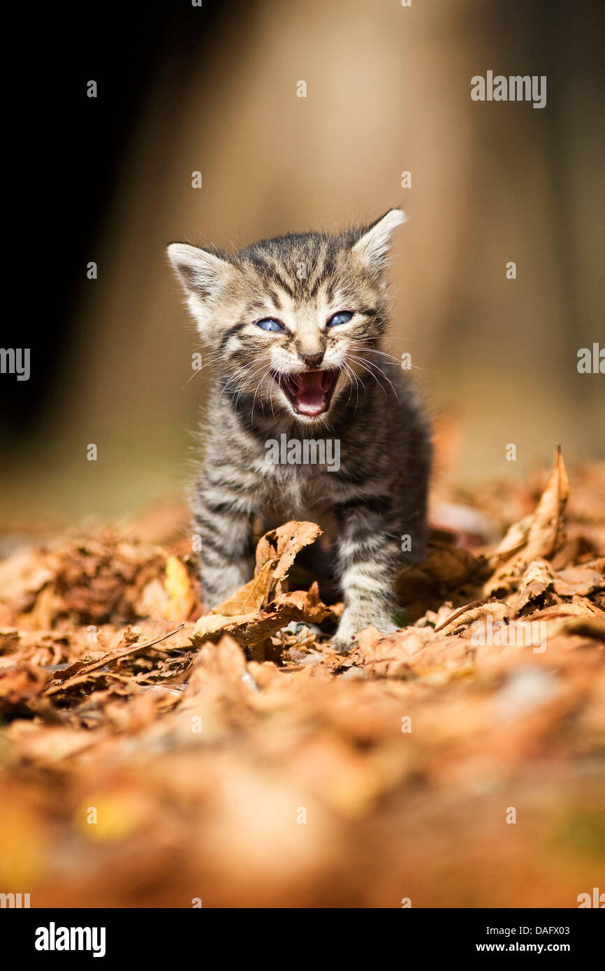 domestic cat, house cat (Felis silvestris f. catus), brown striped, three weeks old kitten walking miaowing, Germany - Stock Image
