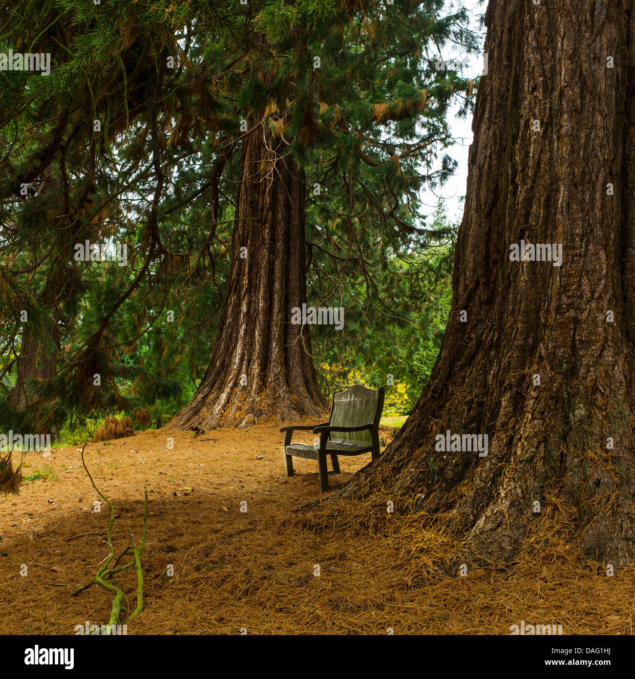 A bench beneath two Sequoia trees. - Stock Image