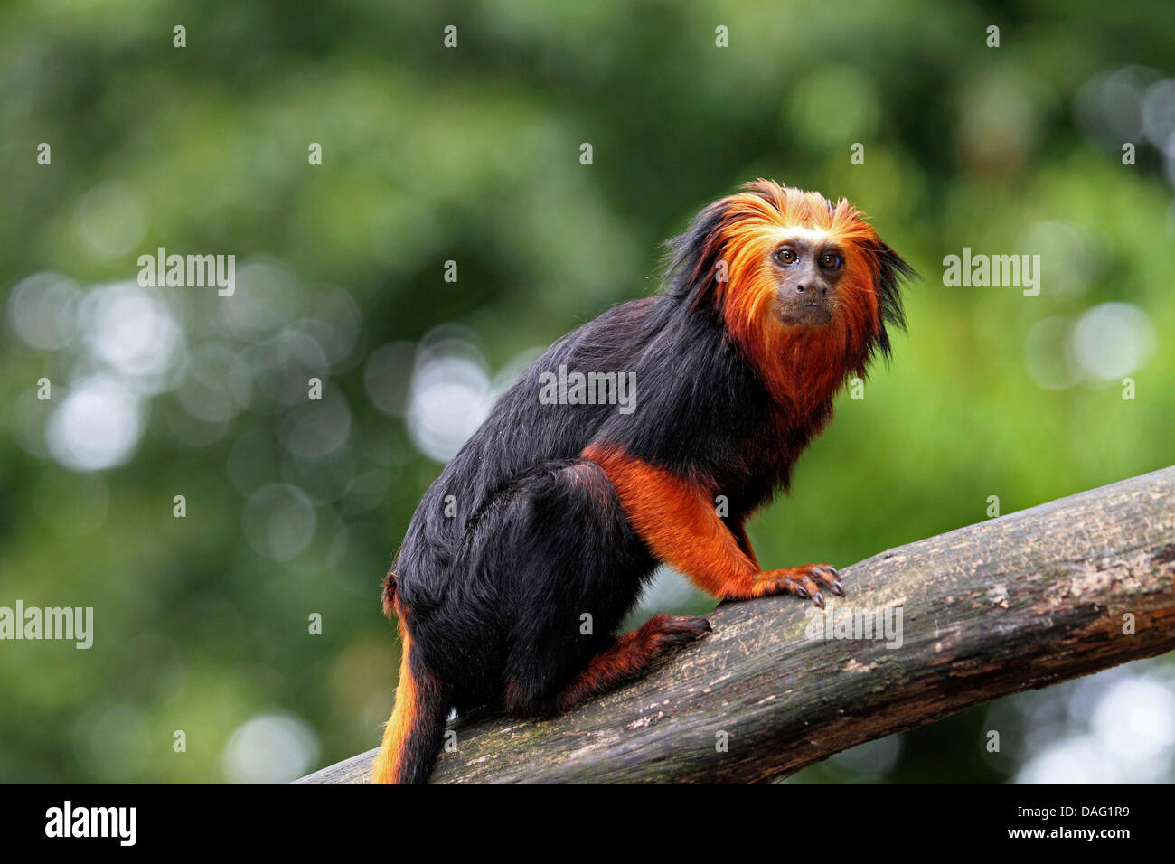 a description of golden marmosets also called leontopithecus chrysomelas The golden lion tamarin is one of the rarest of all mammals in the wild, if not the rarest it is certainly one of the most severely endangered of all primates in the world [3].