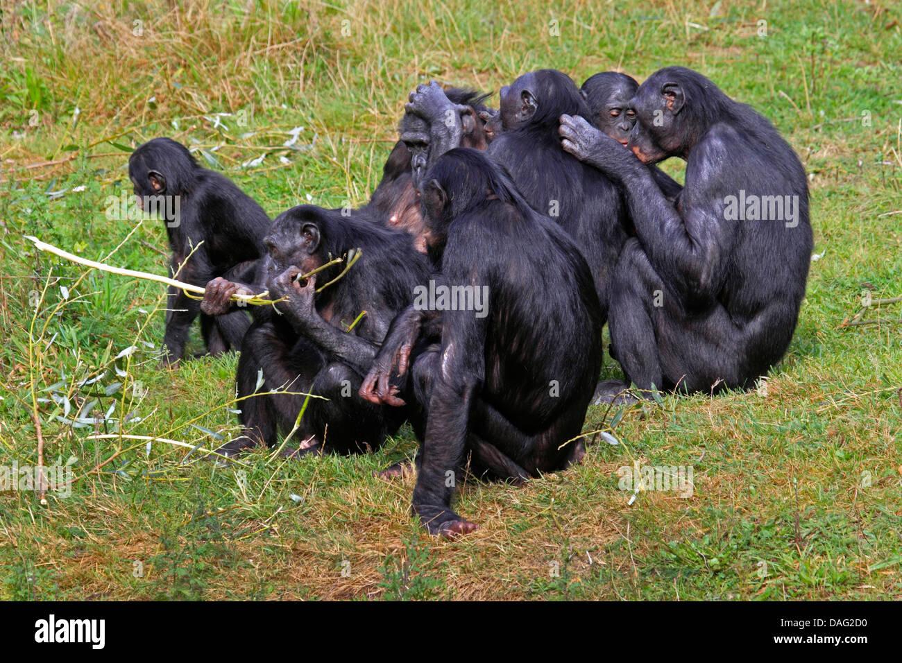 bonobo, pygmy chimpanzee (Pan paniscus), group sitting in a meadow mutually grooming - Stock Image