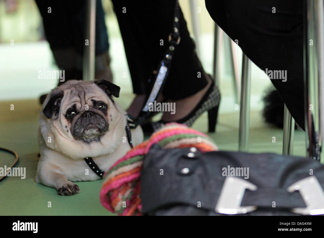 Publicist Uschi Ackermann's pug 'Sir Henry' lies down during the presentation of Ackermann's book - Stock Image