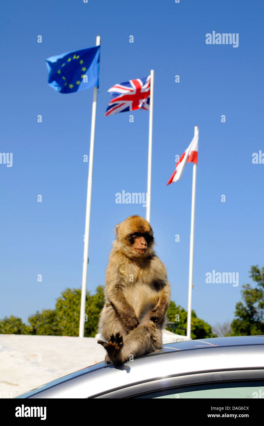 barbary ape, barbary macaque (Macaca sylvanus), sitting on a car roof , Gibraltar - Stock Image